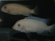 Прдам, куплю аквариумных рыбок