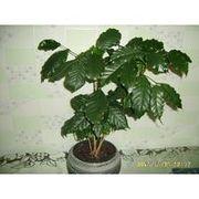 кофейное дерево,   комнатное растение