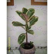 фикус,  комнатное растение