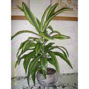 драцена,  комнатное растение