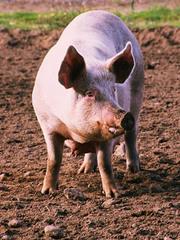 продам свинину убойным весом