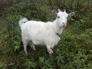 Продам 2 козы