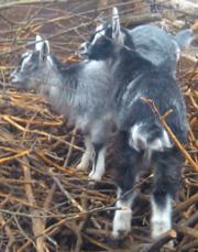 2 козочки от высокоудойной козы продаю