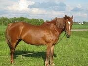 продам лошадь рабочая 10 лет срочно