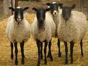 овца     романовские
