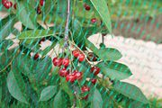 Сетка для защиты ягод от птиц. kazlouskaya_v@interlok.by