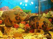 Рыбки Астронотусы