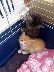4 котенка, 1.5месяца-две девочки и двое мальчика, в хорошие руки,