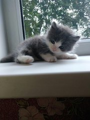 КРОШКА КОТЕНОК ИЩЕТ ДОМ!  Котенок-мальчик,  очень пушистый,  1-1, 5 месяц