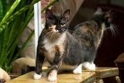 В дар молодая кошка,  возраст- 1 год,  стерилизована. Гладкошерстная тре