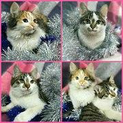 Ласковые котятки срочно ищут дом Котята: две девочки и мальчик. Трехцв