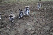 Высокопородные щенки акиты-ину.