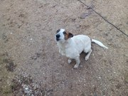 Здравствуйте. Нужна помощь Преданного сердца.  Есть собака,  которая прибилась,  в Сопоцкино живет в нашем строящемся доме. Оставить себя не можем,  есть своя собака. Стерилизация,  обработка от паразитов за наш счет,  обеспечение кормами первое время.  Собака