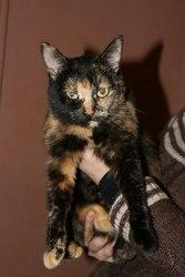 В ответственные руки кошка. Рада,  чепрачный окрас,  5 лет. Ласковая,  иг