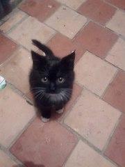 Срочно!Маленький котенок-девочка ищет дом. Возраст 2 месяца,  ласковая,