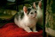В дар котенок- мальчик. Окрас белый с пятнышками . Возраст 2, 5-3 месяц
