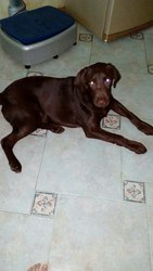 Отдается лабрадор! (вернули,  не принимает вторая собака)  Зовут Марли.
