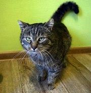 В ответственные руки кот Тимоша. Крупный очень ласковый,  игривый краса
