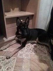 Найдена собака,  девочка,  возраст около 5 месяцев.  Добрая,  хорошо лади