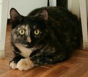 Грациозная кошечка Сафина ищет дом!   Девочке около 6 месяцев. Очень л