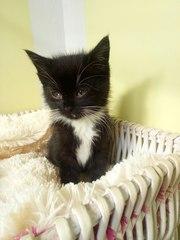 Маленькая леди ищет ДОМ!  Котёнок - девочка ,  1, 5 месяца ,  чёрно - бел