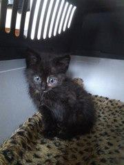 Срочно! Найден котенок - девочка - 4-5 недель. Выброшен жестокими людь