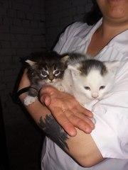 Новички в сахе!!!!  Три очаровательных котенка ,  два сереньких и белый