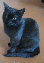 Отдается в добрые руки,  черный кот. Возраст около 10 месяцев,  обработа