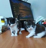 Пять маленьких котят ищут хозяев. Находятся в г. Гродно,  р-н Карского.