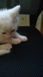 Срочно!!!Найден Маленький котенок, 1, 5 месяца,  белый, мальчик!приютите к
