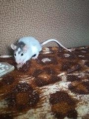 Отдается крысенок в надежные руки. Мальчик. Возраст 2-2, 5 месяца. Окра