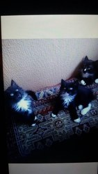 Друзья,  в добрые руки отдаются котята.Черно-белые,  пушистые. Ручные. К