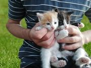 Пушистый черно-белый котик и рыже-белая кошечка. Родились в начале мая