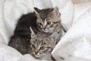СРОЧНО нужна ПЕРЕДЕРЖКА или ДОМ!  Котята,  девочки,  примерно 1.5 мес. Р