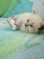 В ответственные руки котята. Очень ласковые,  белая девочка,  серый маль