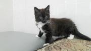 Ласковый котеночек срочно ищет дом или передержку Котенок,  девочка,  сд
