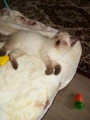 В ответственные руки отдается милейший сиамский котенок Пэпсик. Мальчи
