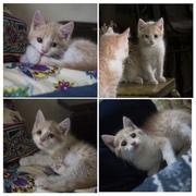 Друзья,  ищу дом для Персика,  возраст полтора месяца,  окрас персик с бе