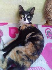 Длинолапая стройная Сима, очень умная кошка. Она знает кто она,  что ей можно,  что нельзя.Очень хочет найти самую настоящую семью,  которая больше не предаст Закончила школу благородных девиц. Знает лоток,  когтеточку и умело всем пользуется.Сима,  думает,  что