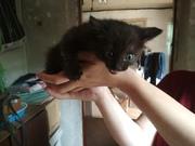 СРОЧНО! Новые котята в САХе!  Два котенка - мальчика (третья серая дев