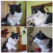 Друзья,  отдается в добрые руки кошка-Блошка. Черно-белая,  пушистая,  ко