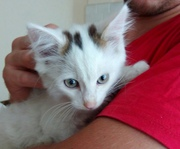 Маленький,  белый котенок ищет хозяина с безгранично д