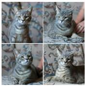 Красивущий кот Сёма ищет дом и любящего хозяина!   Сёме около 8 месяце