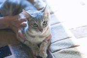 В дар кошка-подросток,  возраст 6 месяцев,  окрас дымчатый. Здорова,  кас