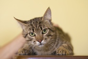 В дар кот-подросток,  возраст 6 месяцев,  лесной. Здоров,  кастрирован,  к