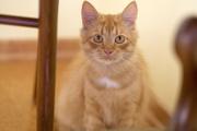 В дар кот-подросток,  возраст 6 месяцев,  рыжий. Здоров,  кастрирован,  к