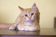 В дар кот-подросток,  возраст 6 месяцев,  персиковый Здоров,  кастрирован
