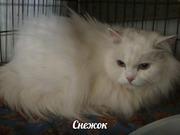 Шикарный кот Снежок ищет ДОМ!   Фото не передает и сотой доли его красоты и величия. Это не кот-это король. Белоснежная шубка и глаза бесконечность,  голубые-голубые. Всем не место в САХе,  но ему особенно.  Снежок в меру ласковый кот. В силу своего возраст
