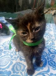 Котята 1.5 месяца в заботливые руки,  под пасспортные данные,  уже кушаю
