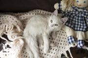 Друзья,  кошка 8 месяцев в дар,  Белая,  стерилизованная,  контактная. К л